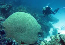 Evento de coral bleaching previsto para 2015-2016